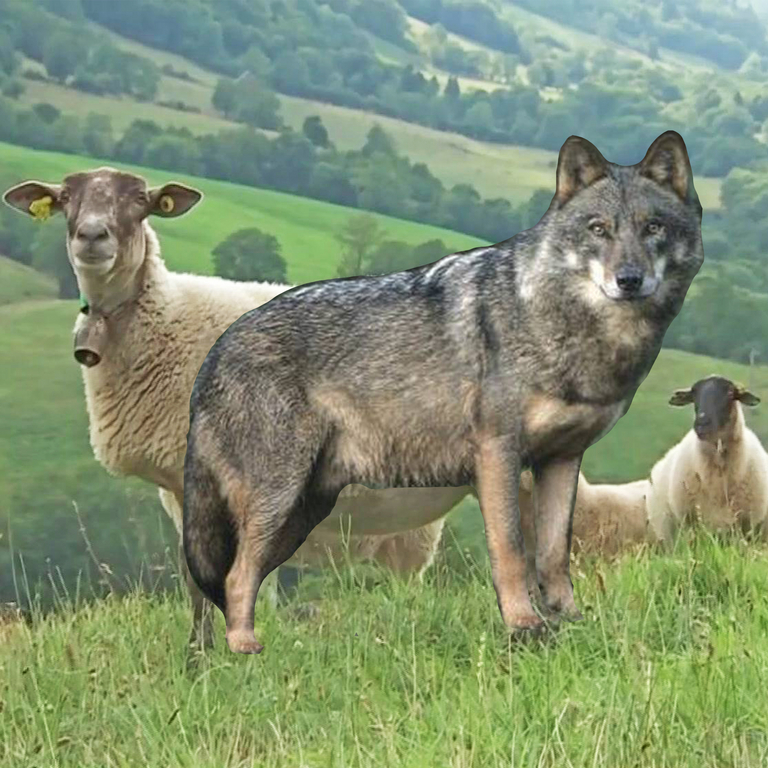 Dossier loup chambre d 39 agriculture cantal - Chambre d agriculture d auvergne ...